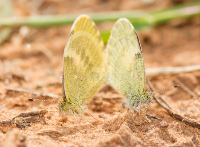 Pequeño acoplamiento amarillo de las mariposas imagenes de archivo