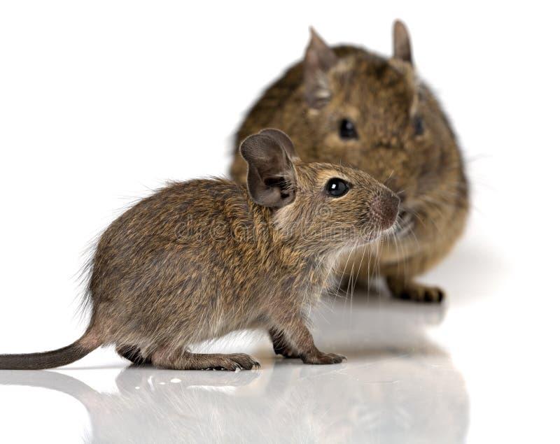 Pequeño animal doméstico lindo del degu del roedor del bebé con su mamá foto de archivo
