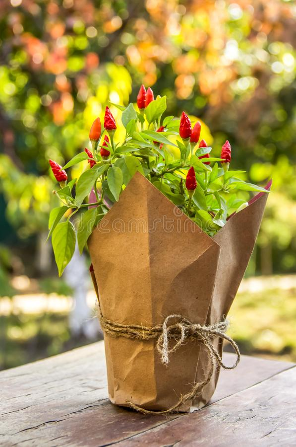 Pequeño arbusto de las pimientas de chile rojo Especia de la pimienta de chile rojo en un pote fotografía de archivo