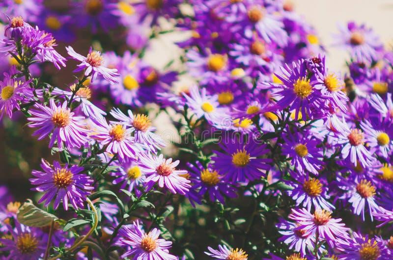 pequeño aster de la lila Fondo natural imagenes de archivo