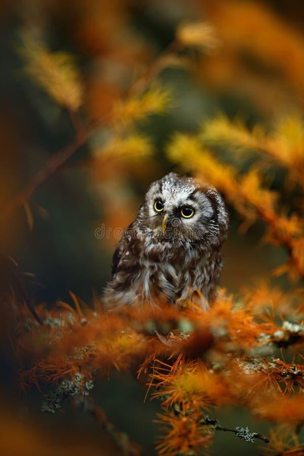 Pequeño búho boreal en el bosque anaranjado del alerce en Europa cetral imagen de archivo libre de regalías