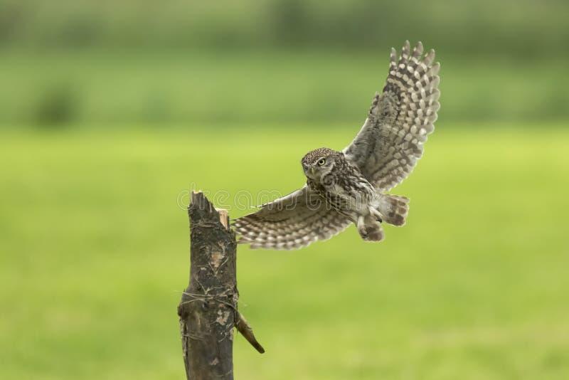 Pequeño búho, noctua del Athene, ave rapaz en vuelo imagenes de archivo