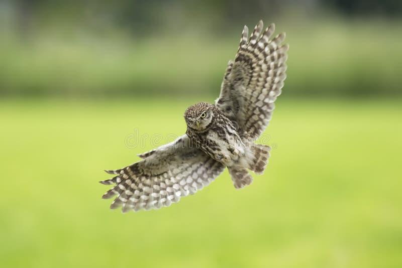 Pequeño búho, noctua del Athene, ave rapaz en vuelo fotografía de archivo libre de regalías
