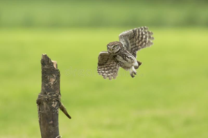 Pequeño búho, noctua del Athene, ave rapaz en vuelo fotos de archivo libres de regalías