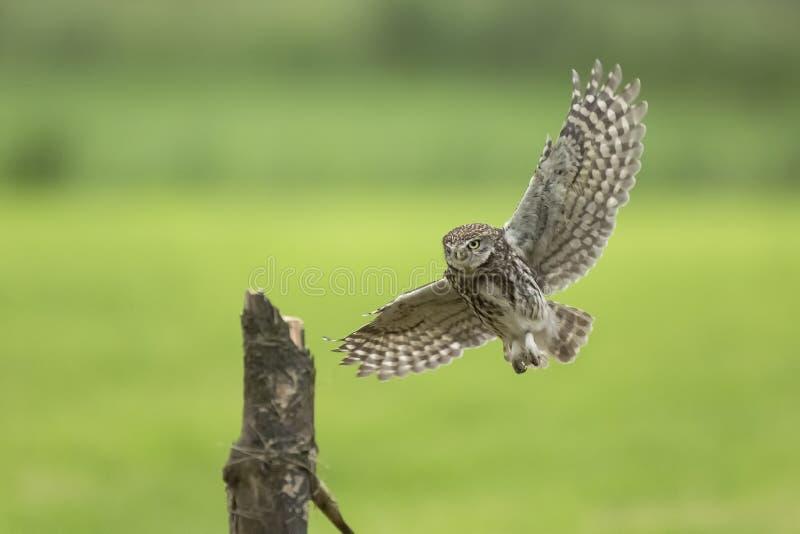 Pequeño búho, noctua del Athene, cazando en vuelo las alas separadas fotos de archivo libres de regalías