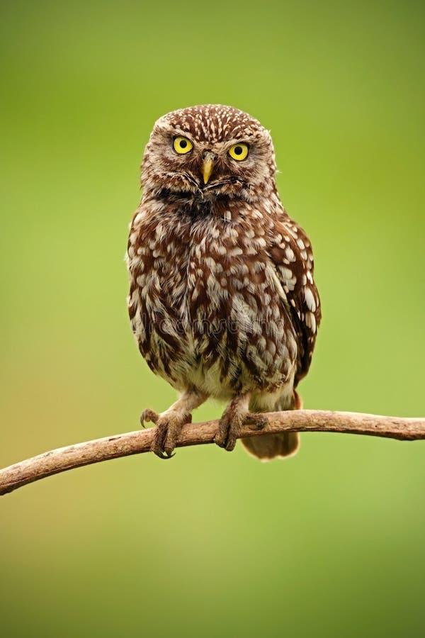 Pequeño búho, noctua del Athene, pájaro en el hábitat de la naturaleza, fondo verde del claro, ojos amarillos, Hungría imágenes de archivo libres de regalías