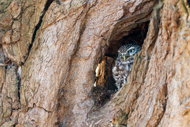 Pequeño búho que oculta en un árbol imagen de archivo