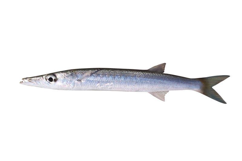Pequeño barracuda - pescado rapaz tropical fotografía de archivo libre de regalías