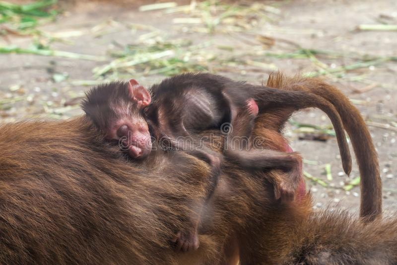 Pequeño bebé del babuino de los hamadryas que duerme en la parte posterior su mono de la madre foto de archivo libre de regalías