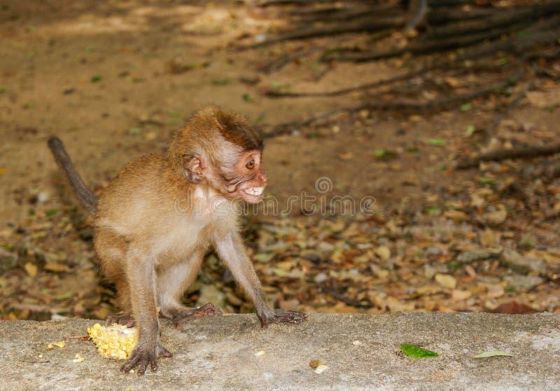 Pequeño bebé-mono en el bosque del mono de Ubud, Bali, Indonesia fotografía de archivo libre de regalías