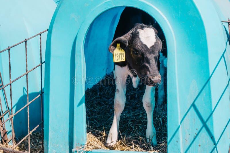 Pequeño becerro lindo feliz en la granja de la vaca foto de archivo libre de regalías
