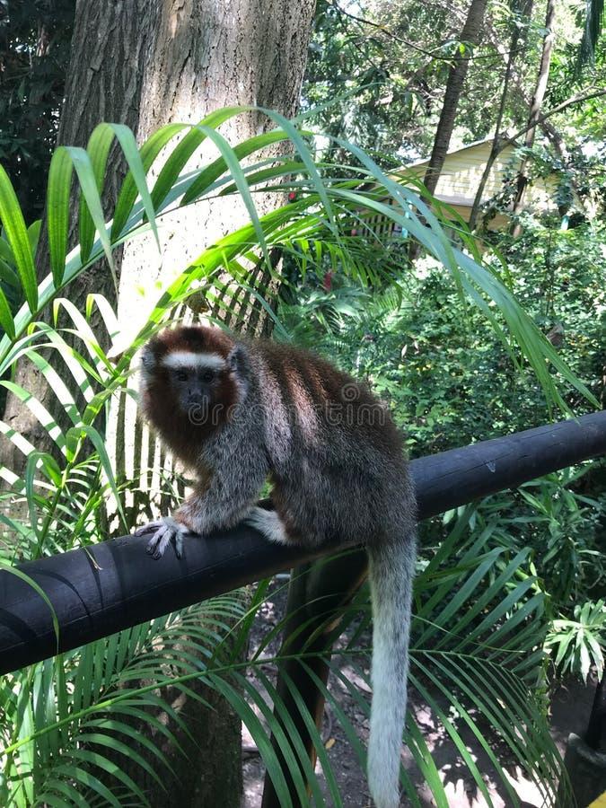 Pequeño bosque Cartagena Columbia de los monos bajo la lluvia imagen de archivo