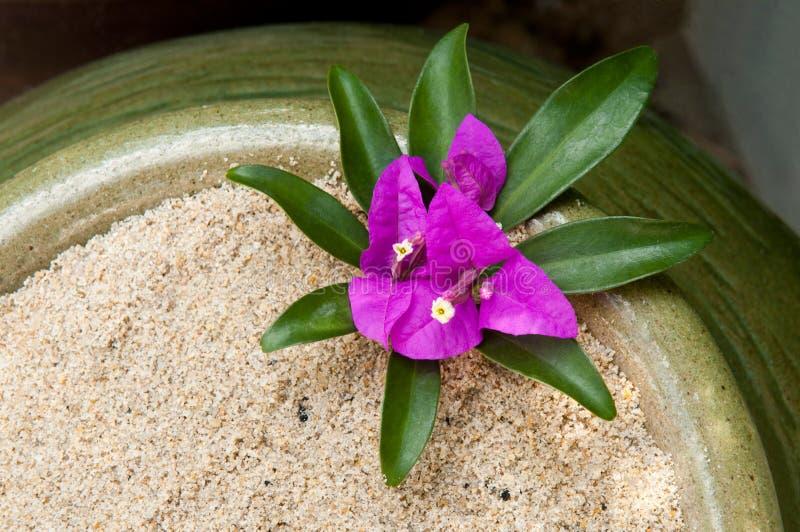 Pequeño bougainville en un florero imágenes de archivo libres de regalías