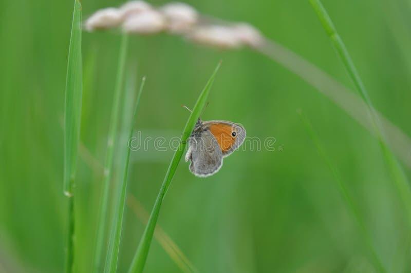 Pequeño brezo de la mariposa foto de archivo libre de regalías