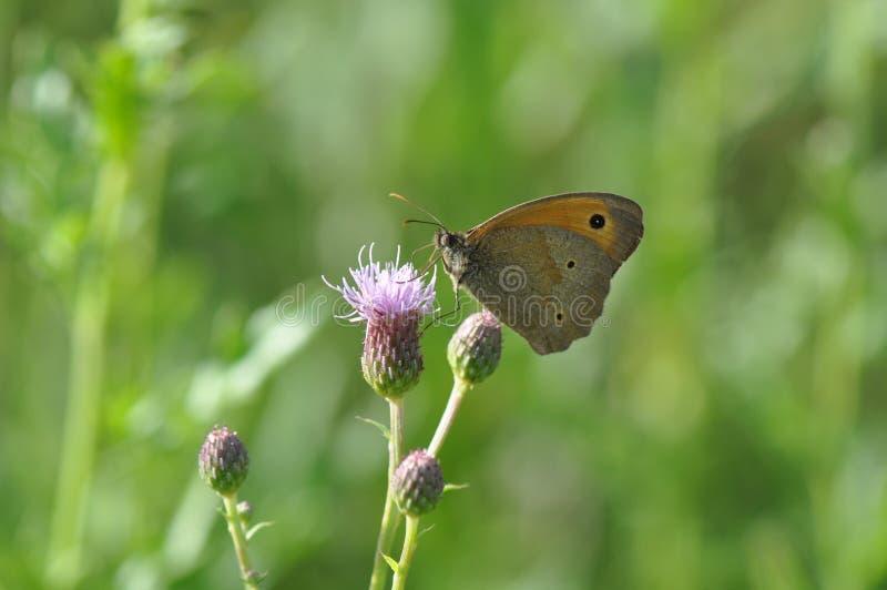 Pequeño brezo de la mariposa imagen de archivo