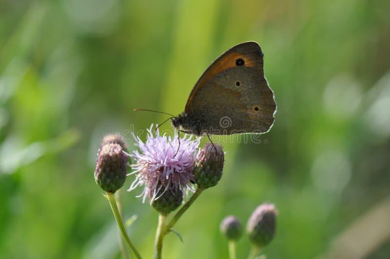Pequeño brezo de la mariposa fotos de archivo