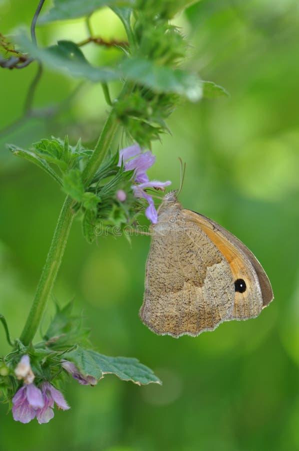 Pequeño brezo de la mariposa imagenes de archivo