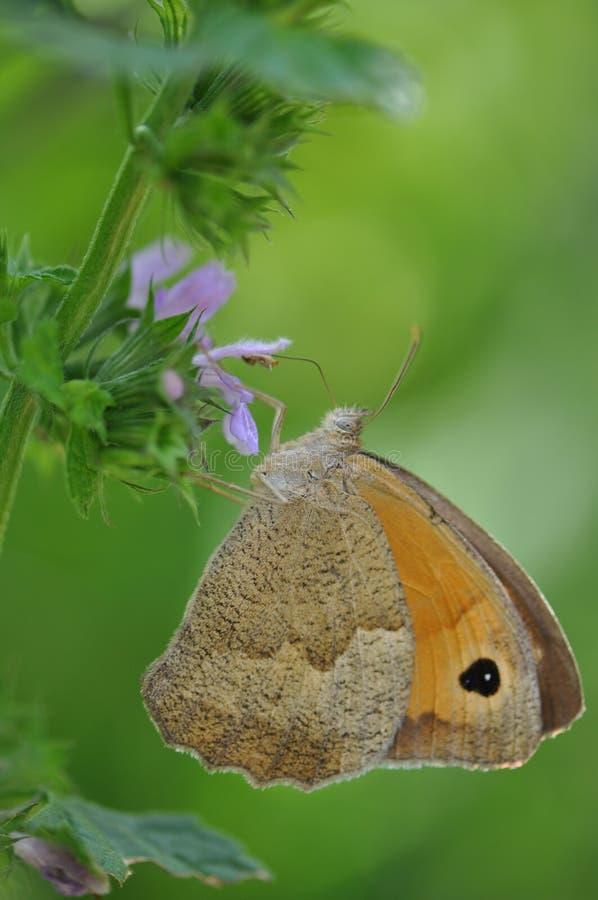 Pequeño brezo de la mariposa fotografía de archivo libre de regalías