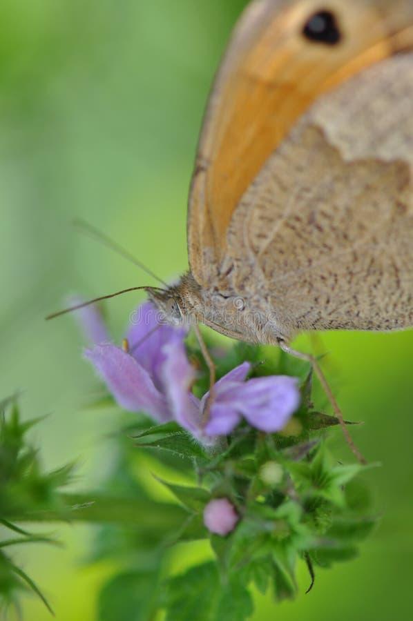 Pequeño brezo de la mariposa imágenes de archivo libres de regalías