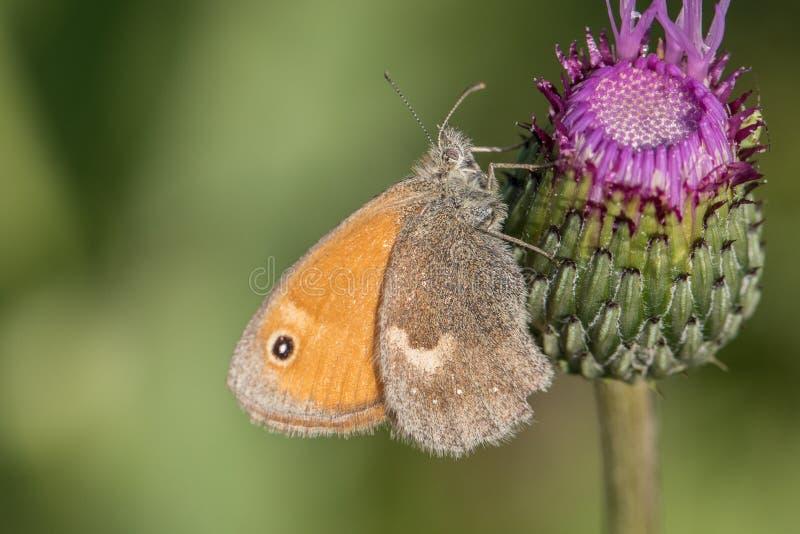 Pequeño brezo de la mariposa y x28; Pamphilus& x29 de Coenonympha; en cardo fotos de archivo