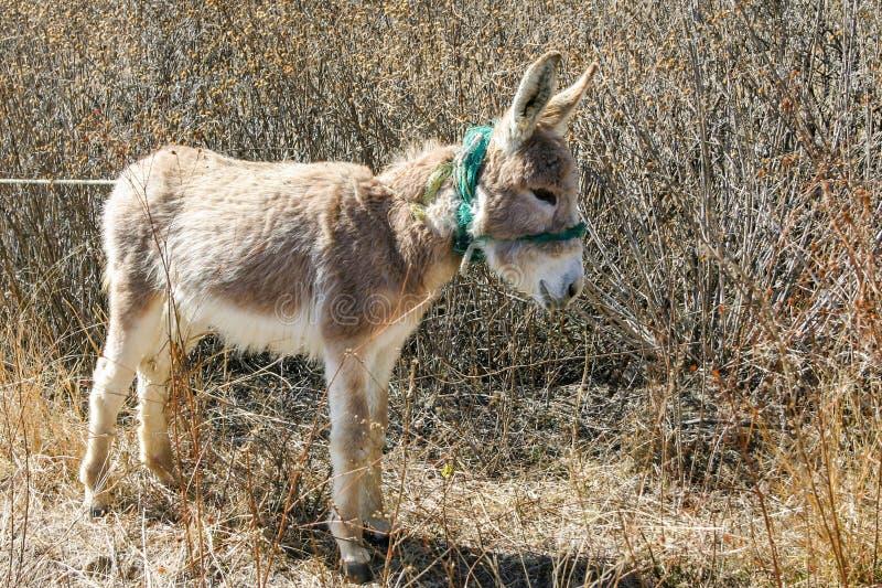 Download Pequeño burro foto de archivo. Imagen de outdoors, atado - 42428356