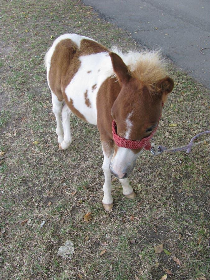 Pequeño caballo fotografía de archivo libre de regalías
