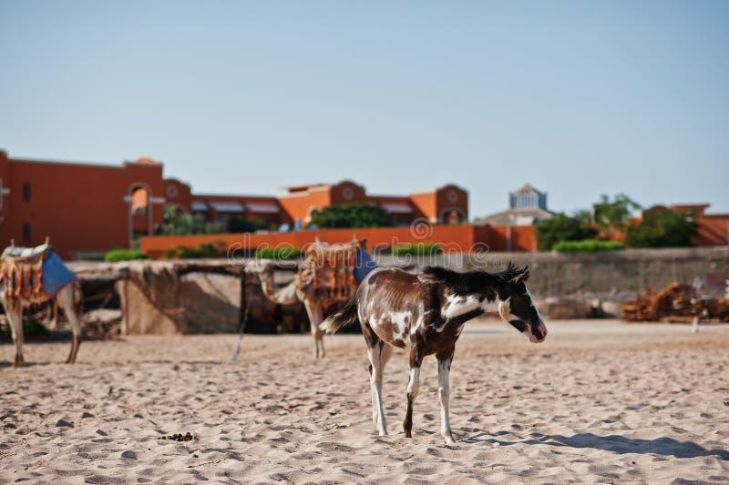 Pequeño caballo en la playa que camina en la arena imagen de archivo libre de regalías