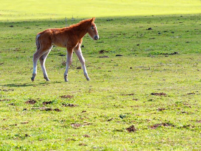 Pequeño caballo o potro que camina el prado foto de archivo libre de regalías