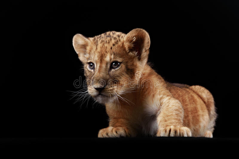 Pequeño cachorro de león foto de archivo libre de regalías