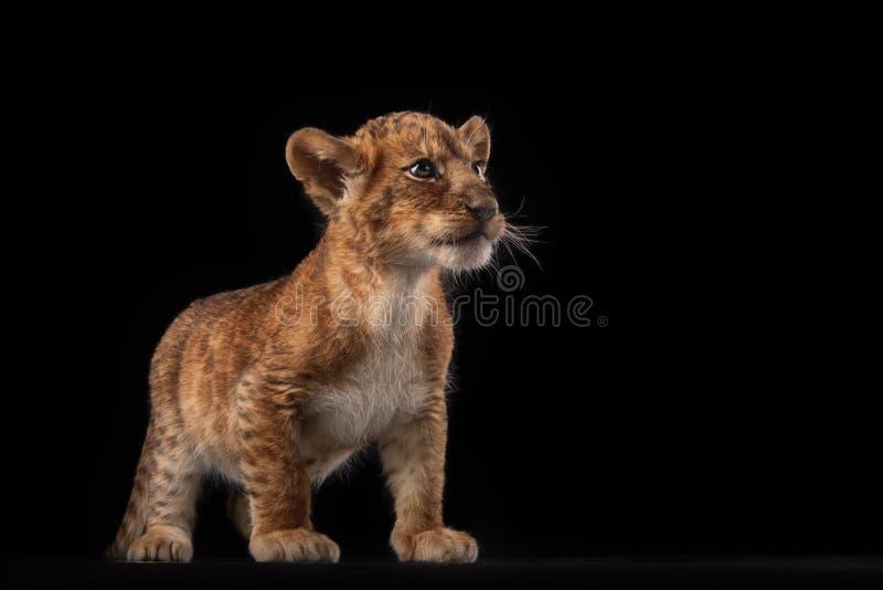 Pequeño cachorro de león en fondo negro fotos de archivo