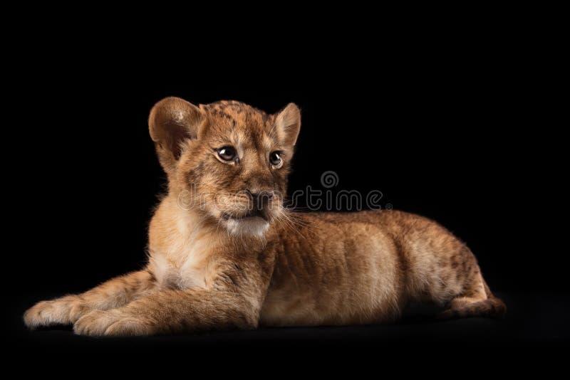 Pequeño cachorro de león en fondo negro fotografía de archivo libre de regalías