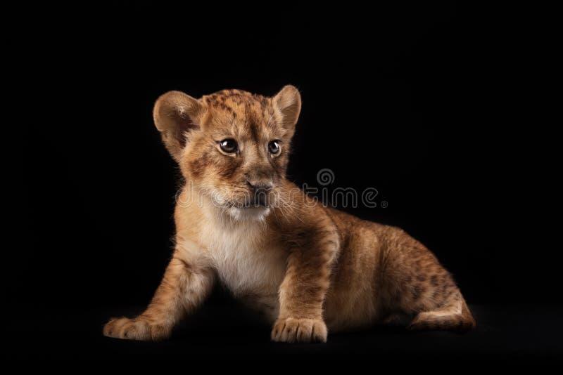 Pequeño cachorro de león en fondo negro imagenes de archivo