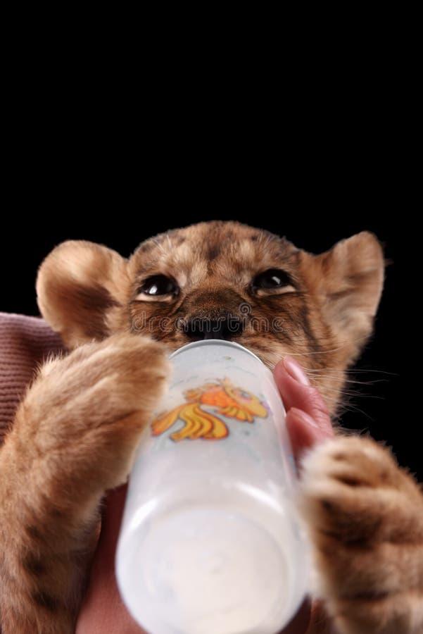 Pequeño cachorro de león hermoso imagenes de archivo