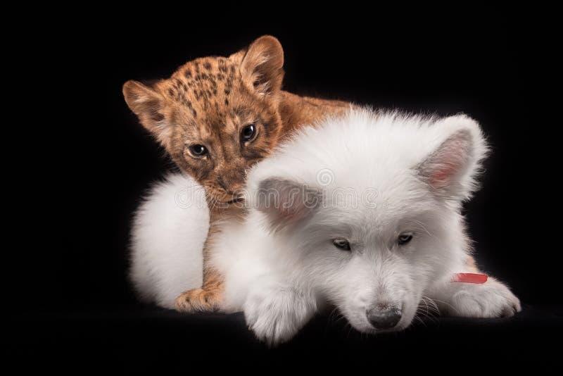 Pequeño cachorro de león y perrito blanco imagen de archivo