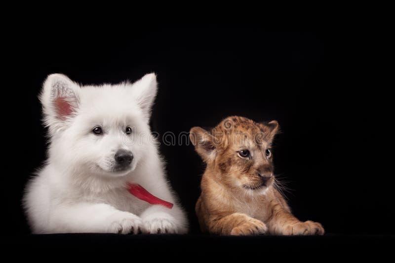 Pequeño cachorro de león y perrito blanco foto de archivo
