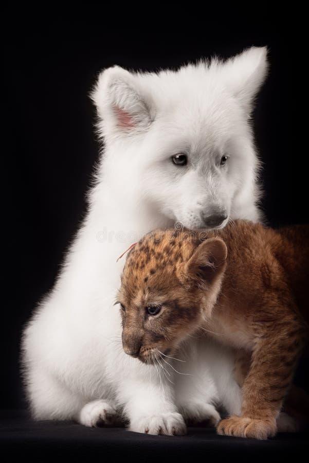 Pequeño cachorro de león y perrito blanco imagen de archivo libre de regalías