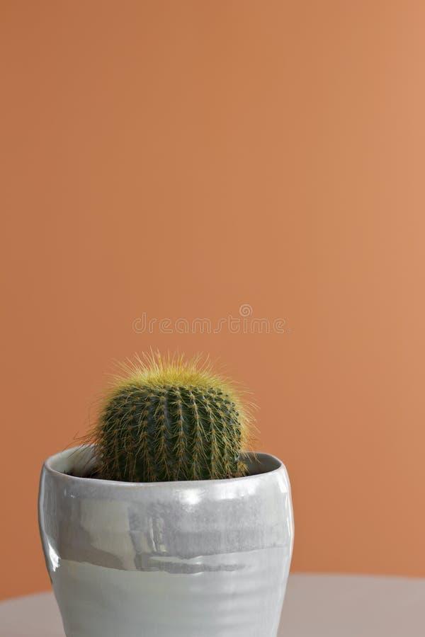 Pequeño cactus de barril en un fondo coloreado melocotón fotografía de archivo