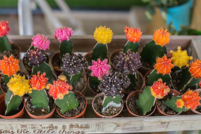 Pequeño cactus multicolor en el jardín fotos de archivo