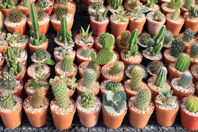 Pequeño cactus, tienda del árbol del cactus con la cría en la casa para el foco selectivo de la venta imagen de archivo