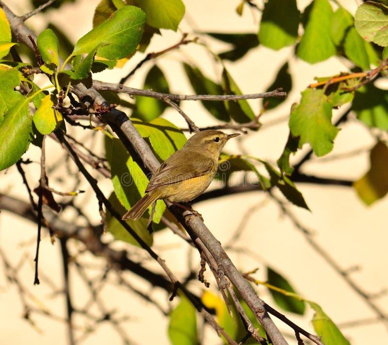 Pequeño canariensis salvaje del phylloscopus del pájaro en árbol de ciruelo imagenes de archivo