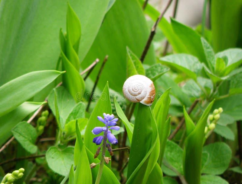 Pequeño caracol que sube en una hoja vibrante del color verde de la uva Hyacinth Flower Field fotos de archivo