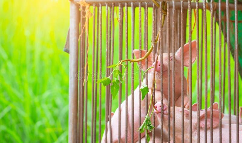 Pequeño cerdo en granja Pequeño lechón rosa Concepto de fiebre porcina africana y gripe porcina Ganadería Industria de la carne d imagenes de archivo