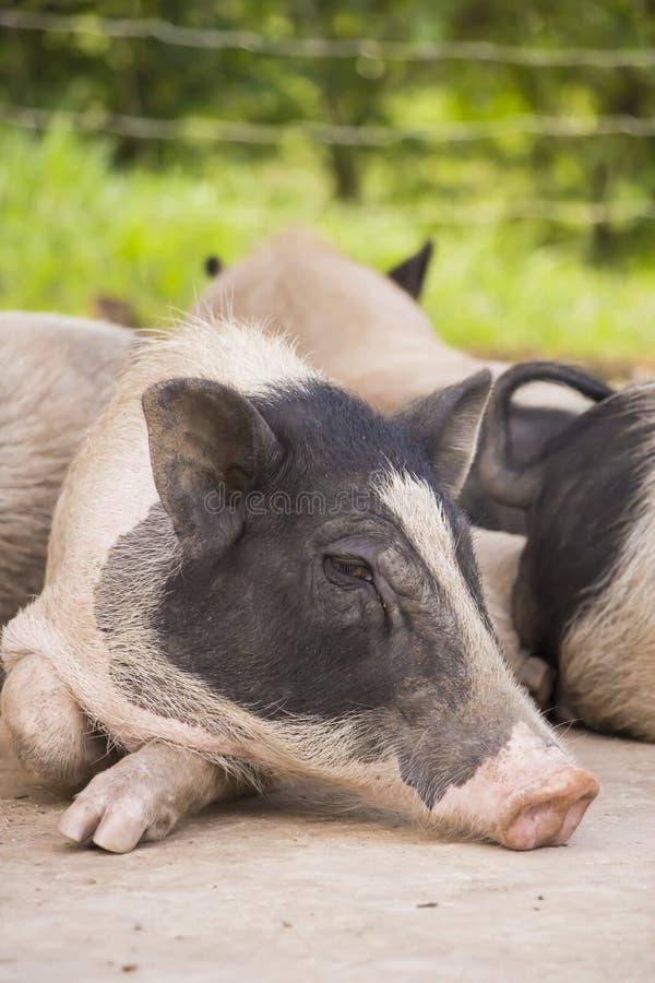 Pequeño cerdo soñoliento imagen de archivo