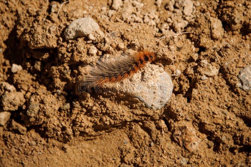 Pequeño ciempiés peludo marrón lindo en la roca foto de archivo libre de regalías