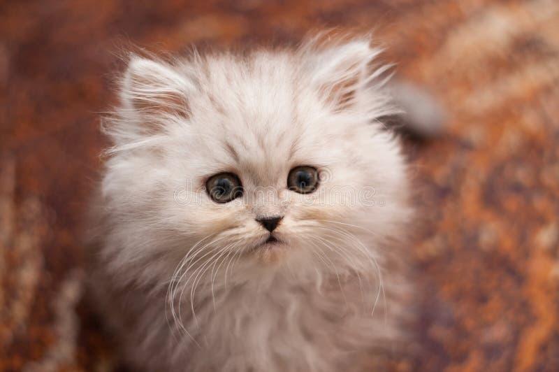 Pequeño cierre persa lindo del gatito para arriba imagen de archivo