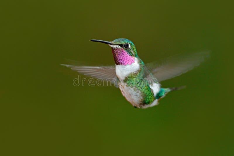 Pequeño colibrí Woodstar Blanco-hinchado, Chaetocercus mulsant, colibrí con el fondo verde claro, pájaro de Tandayapa, el ECU imagen de archivo