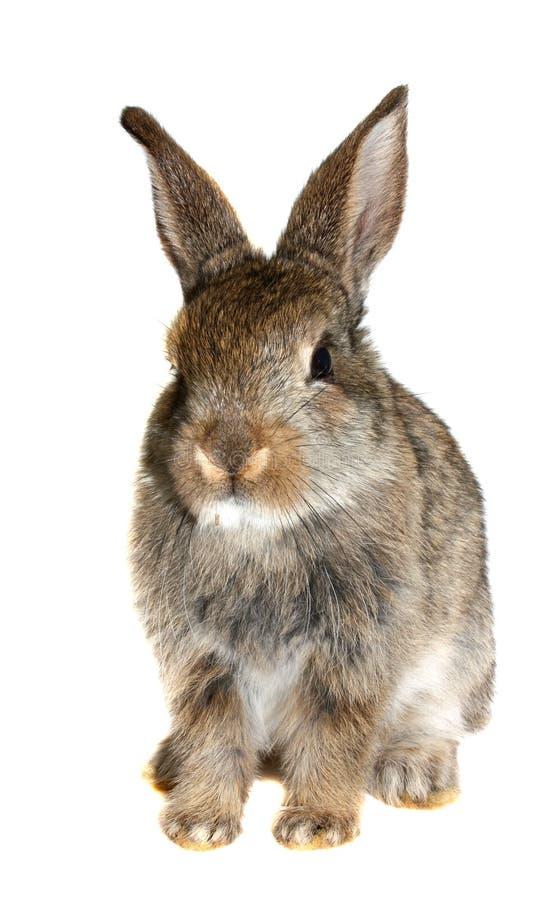 Pequeño conejo aislado   foto de archivo libre de regalías