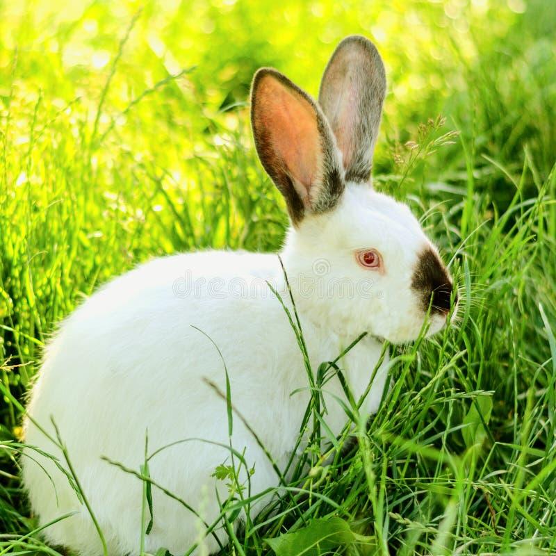 Pequeño conejo blanco divertido que se sienta en la hierba verde en el verano DA fotografía de archivo