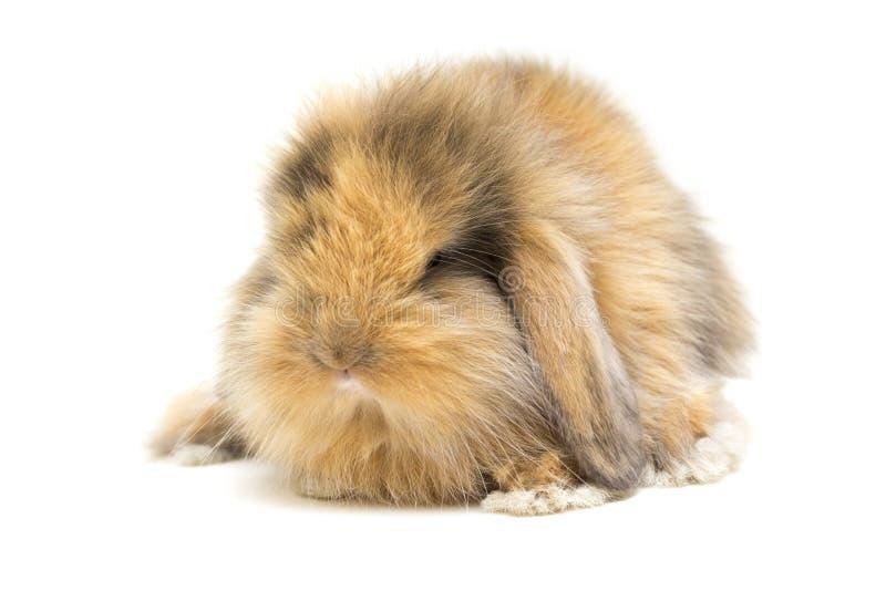 Pequeño conejo de orejas ca3idas aislado en el fondo blanco foto de archivo libre de regalías