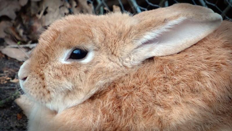 Pequeño conejo marrón lindo fotos de archivo